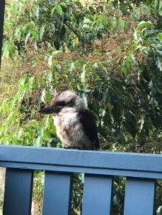 Kookaburra calling.